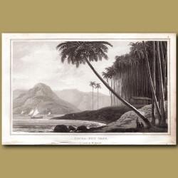 Cocoa-nut Tree