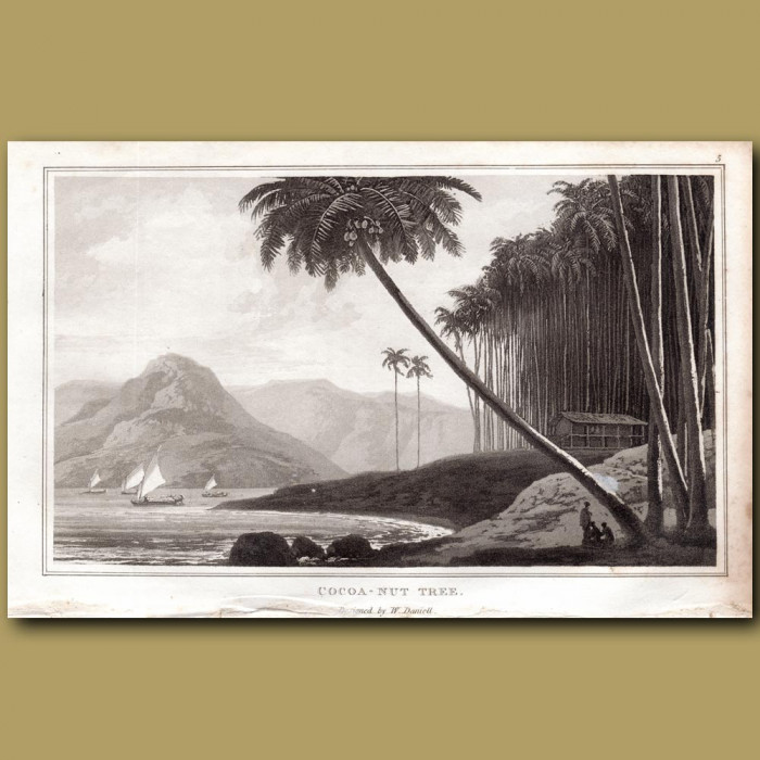 Cocoa-nut Tree: Genuine antique print for sale.
