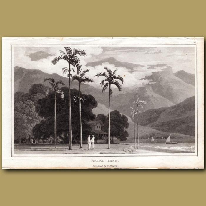 Betel Tree: Genuine antique print for sale.