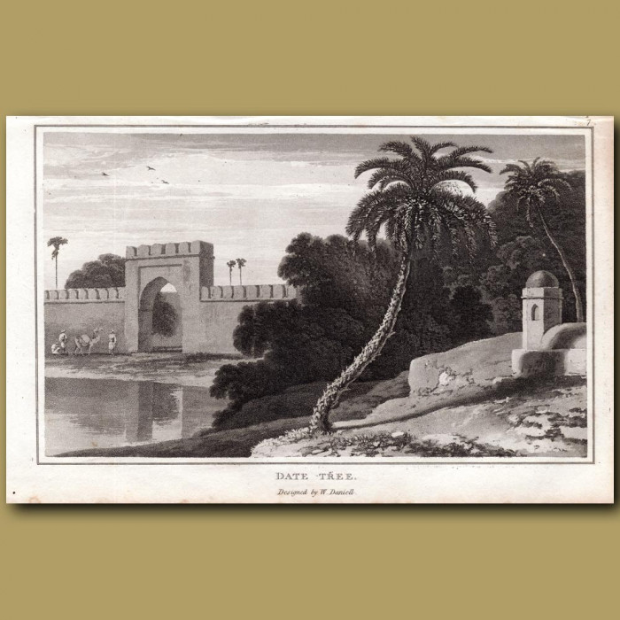 Date Tree: Genuine antique print for sale.