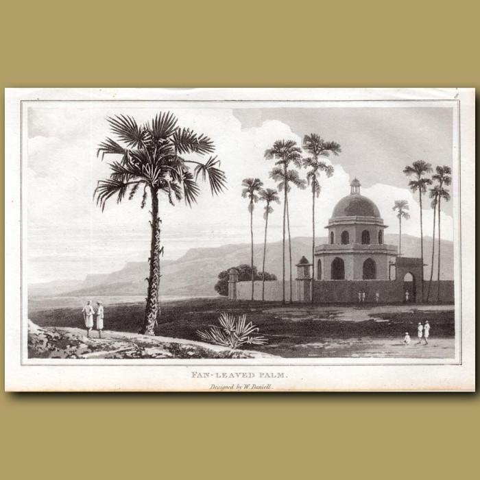 Fan-leaved Palm: Genuine antique print for sale.