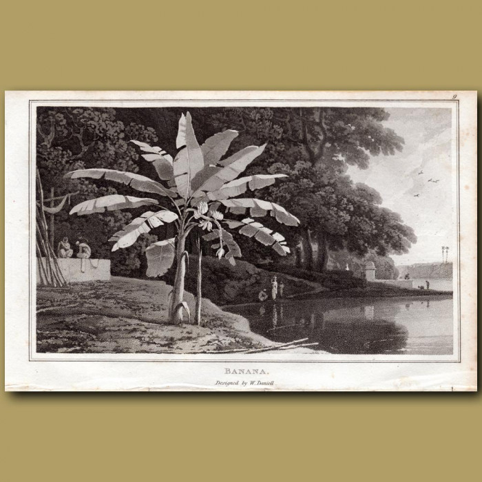 Banana: Genuine antique print for sale.