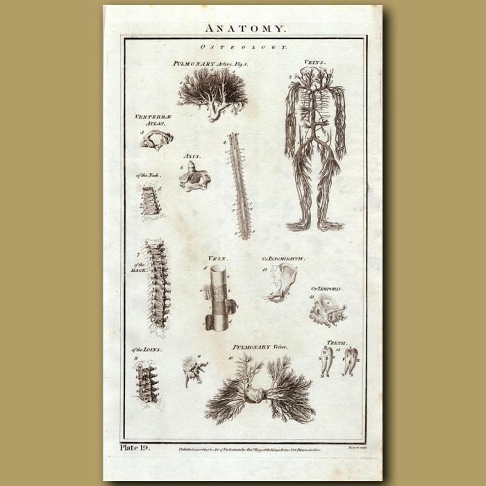 Anatomy: Genuine antique print for sale.