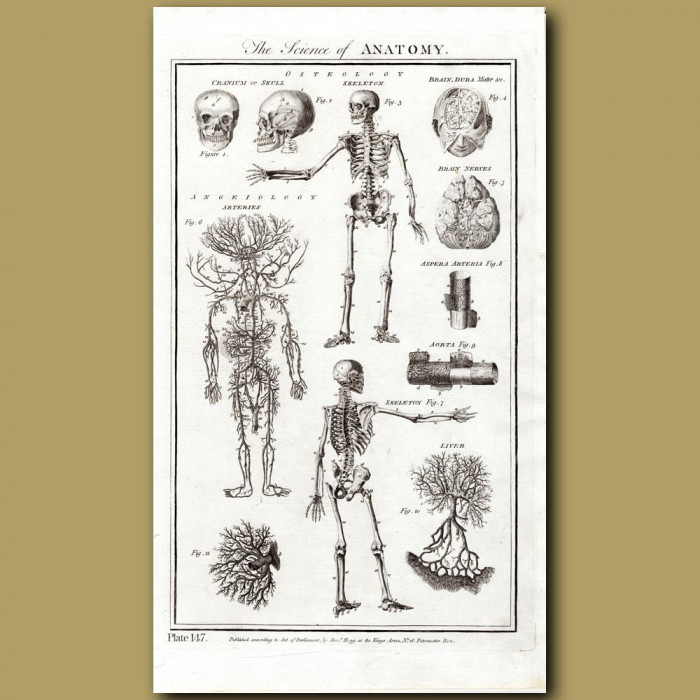 The Science Of Anatomy: Genuine antique print for sale.