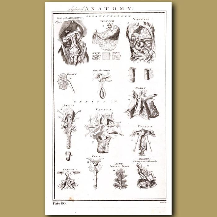 System of Anatomy (Splanchnology, Genitals): Genuine antique print for sale.
