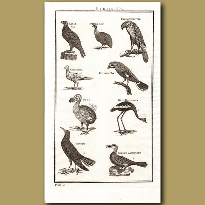 Birds: Dodo etc: Genuine antique print for sale.