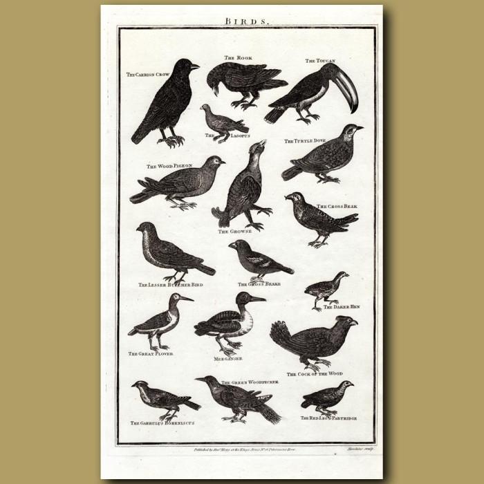 Birds: Genuine antique print for sale.