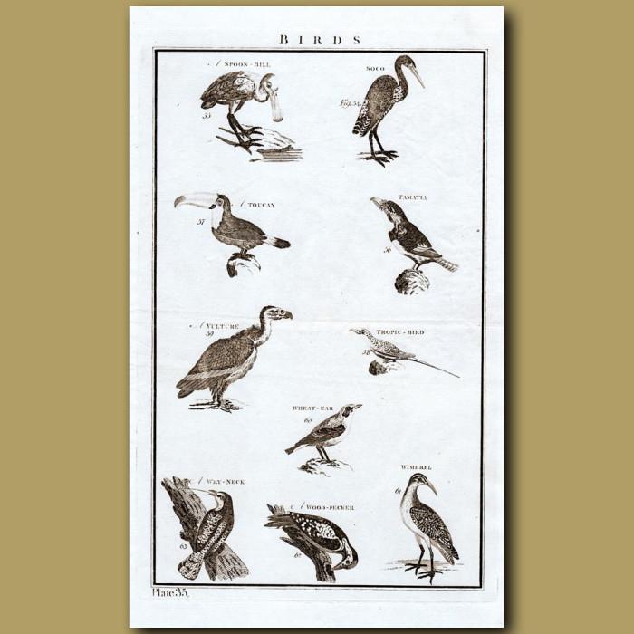 Birds: Toucan Etc.: Genuine antique print for sale.