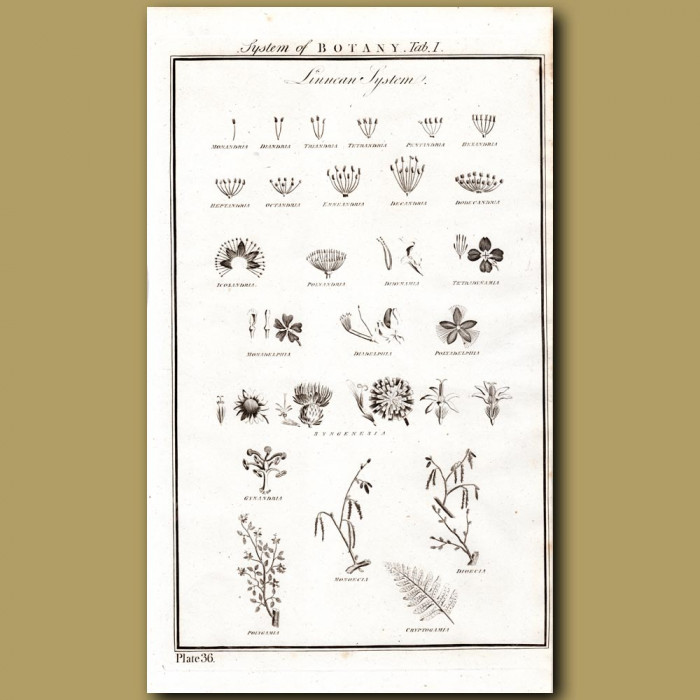 System Of Botany: Linnean System: Genuine antique print for sale.