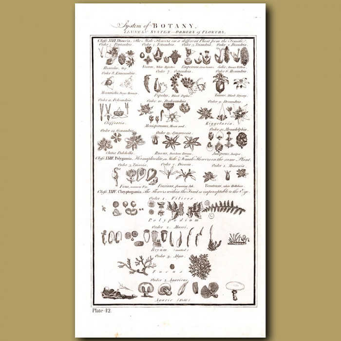System of Botany: Genuine antique print for sale.