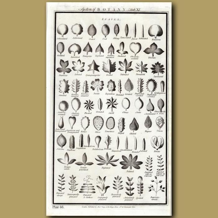 System Of Botany: Leaves: Genuine antique print for sale.