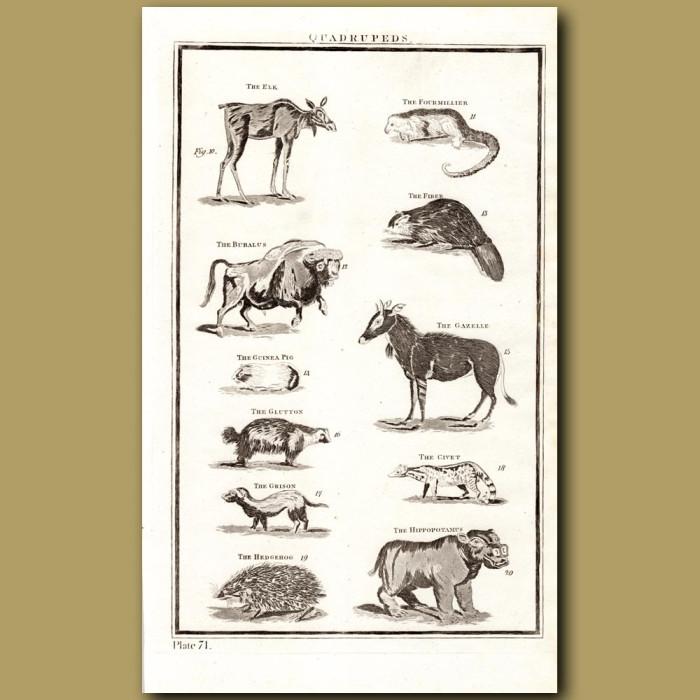 Quadrupeds: Genuine antique print for sale.