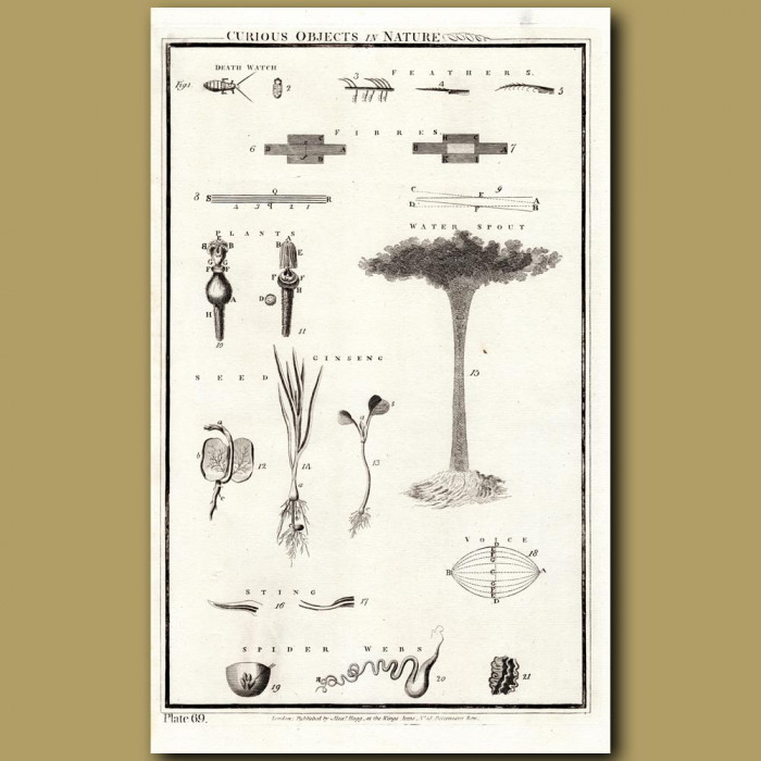 Curious Objects In Nature: Genuine antique print for sale.