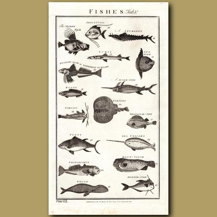 Fish: Genuine antique print for sale.