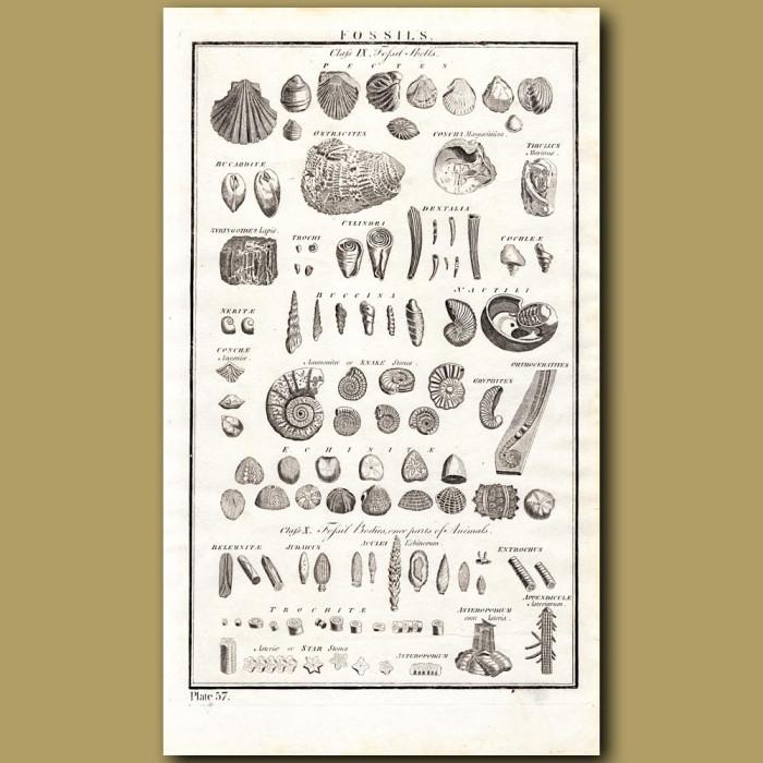 Fossils: Genuine antique print for sale.
