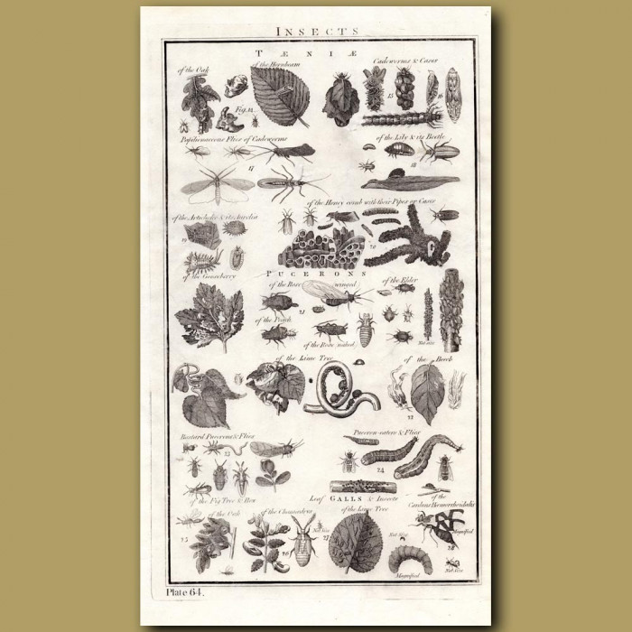 Insects: Genuine antique print for sale.