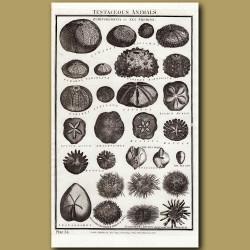 Sea Urchins Or Echinodermata