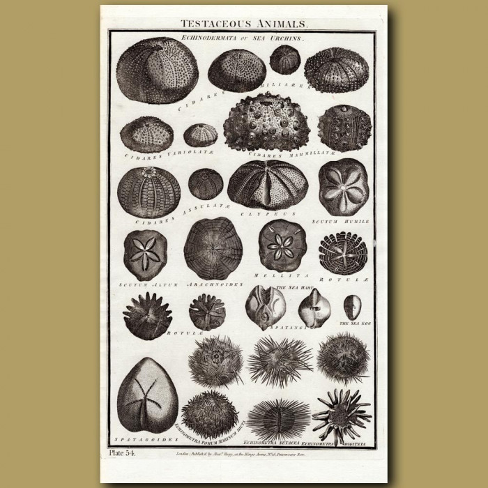 Sea Urchins Or Echinodermata: Genuine antique print for sale.