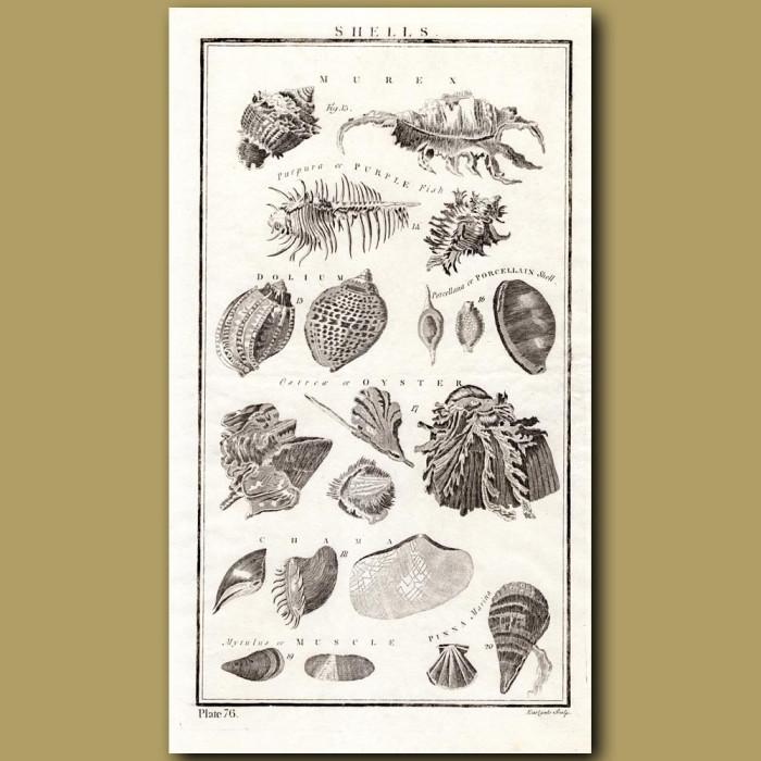 Shells: Genuine antique print for sale.