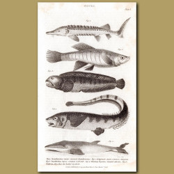 Sturgeon, Wolf-fish, Banded Atherine, Fin-backed Mysticete Whale