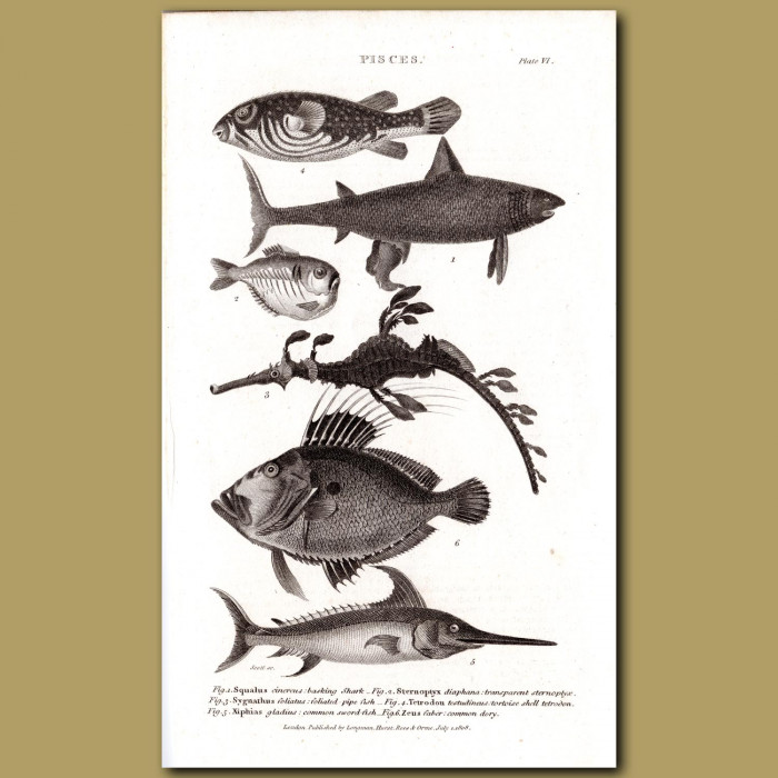 Basking Shark,Seahorse, Tortoiseshell Tetrodon, Common Sword Fish, Common Dory: Genuine antique print for sale.