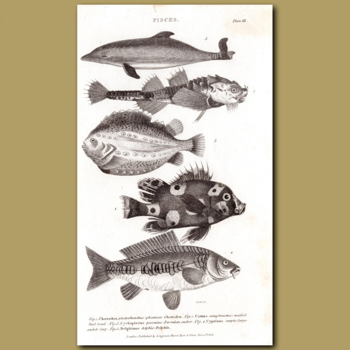 Dolphin, Bullhead, Carp: Genuine antique print for sale.