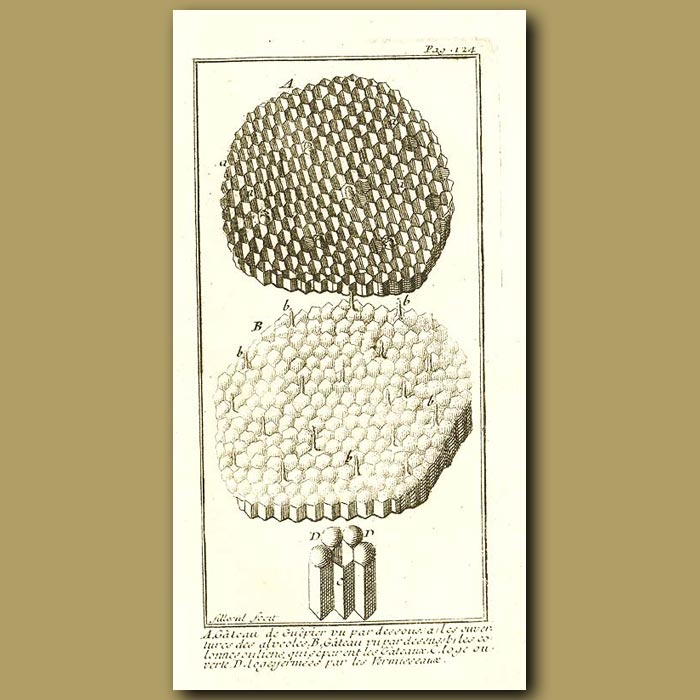 Antique print. Construction Of A Wasps Nest