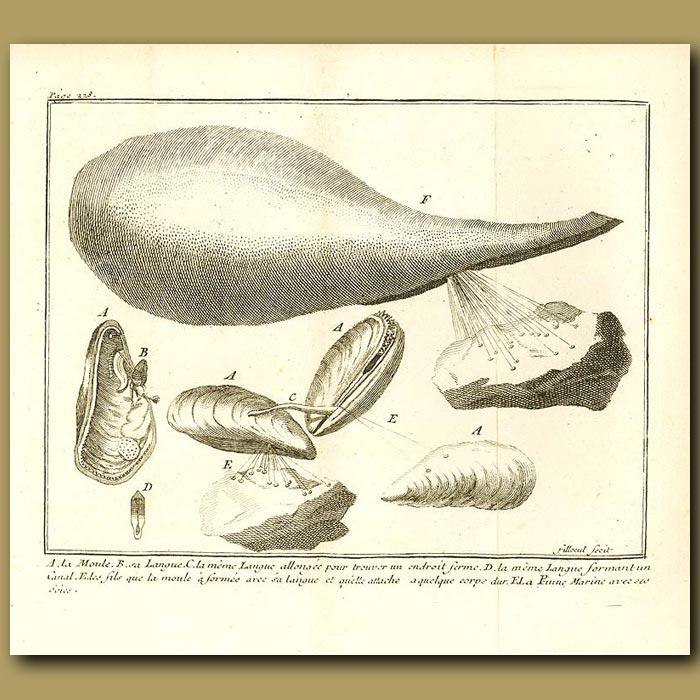 Antique print. Mussels