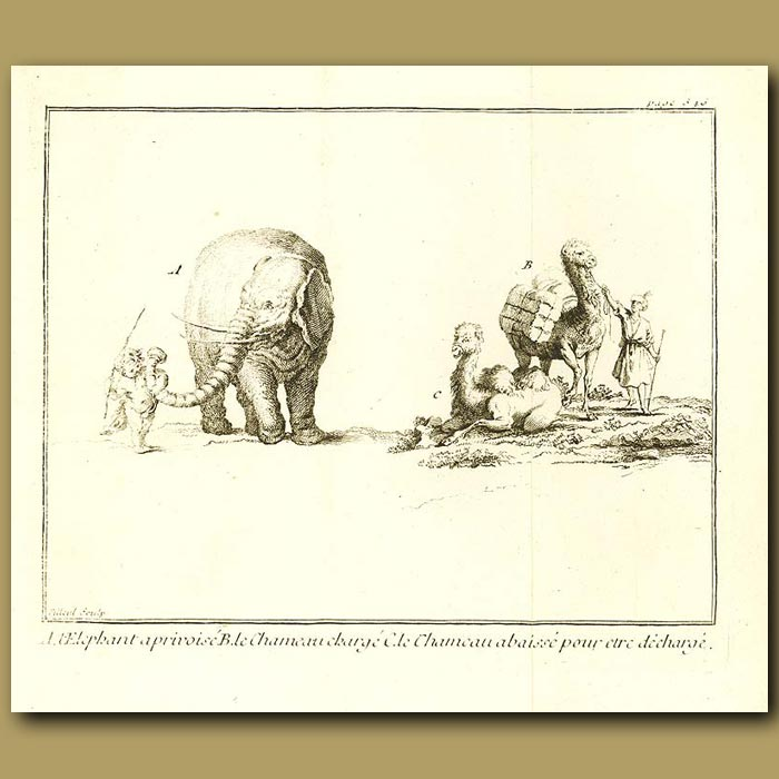 Antique print. Elephant And Camels