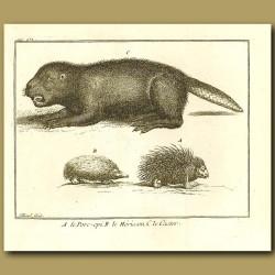 Beaver, Hedgehog And Porcupine