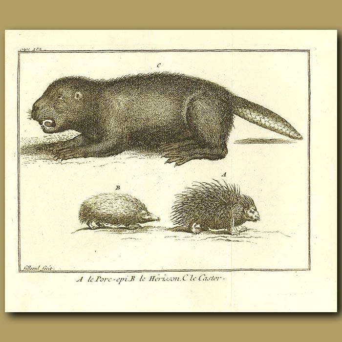Antique print. Beaver, Hedgehog And Porcupine