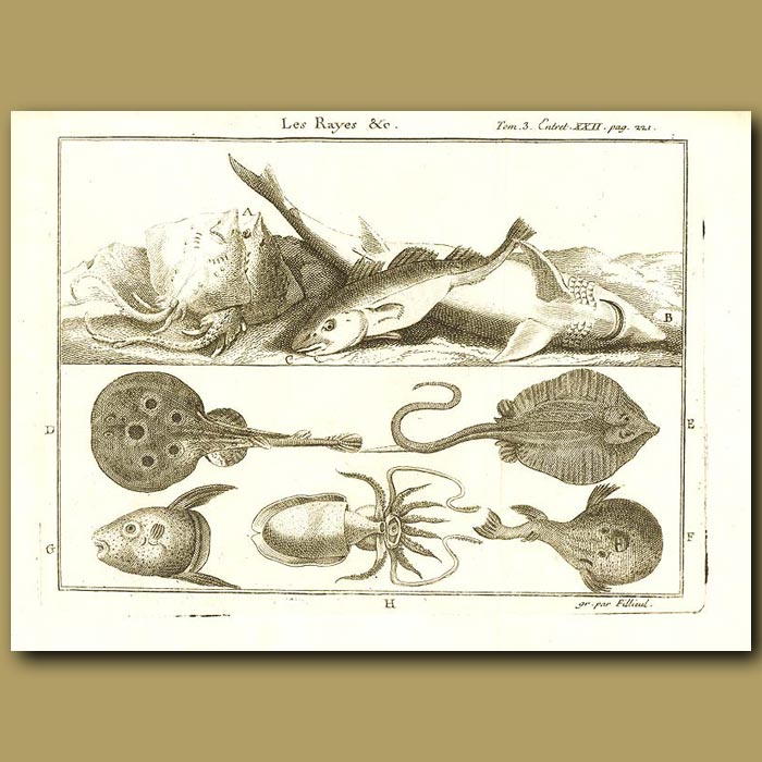 Antique print. Rays, Shark, Sunfish, Octopus, Puffer Fish