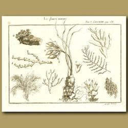 Marine Plants - Seaweeds