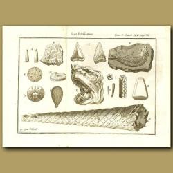 Fossils, Sharks Teeth, Ammonite