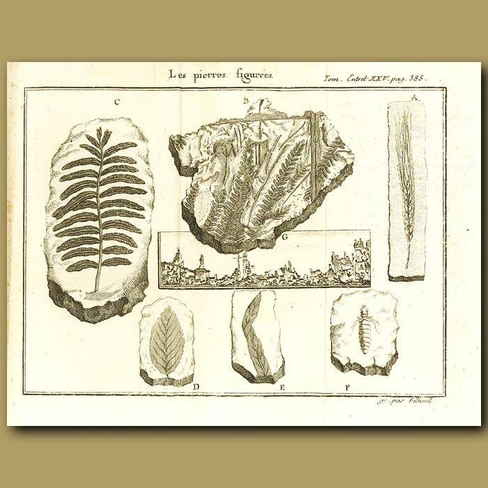Antique print. Plant Fossils