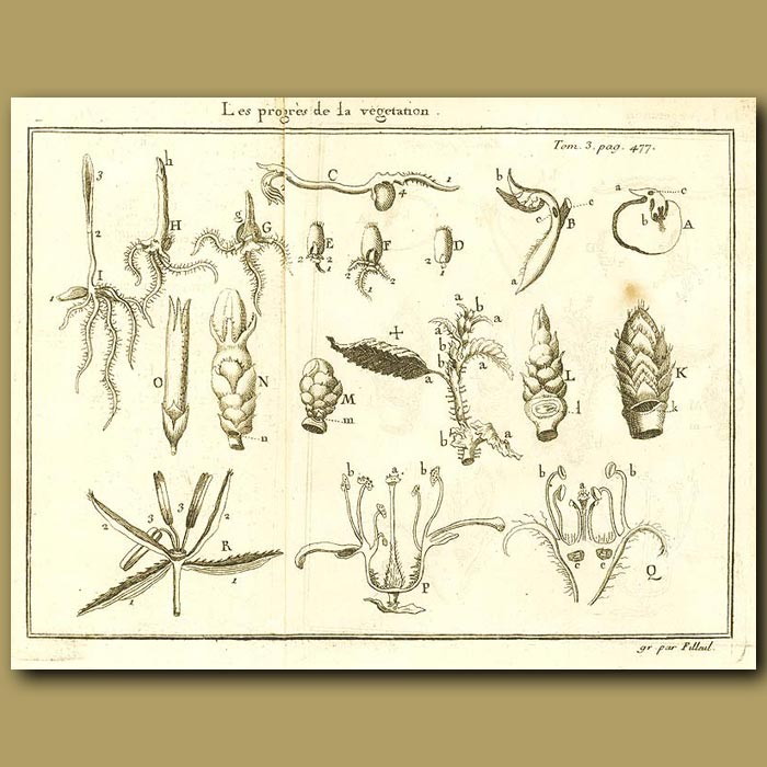 Antique print. Growth Of A Plant