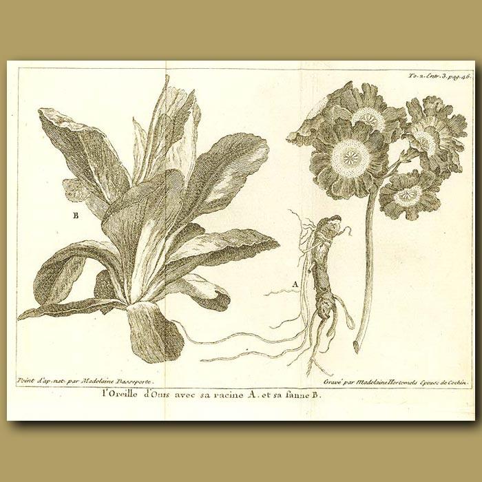 Antique print. Primrose