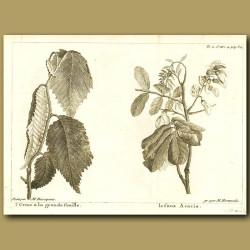 Elm And Acacia