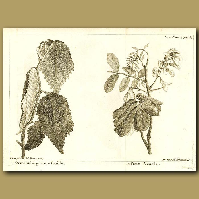 Antique print. Elm And Acacia