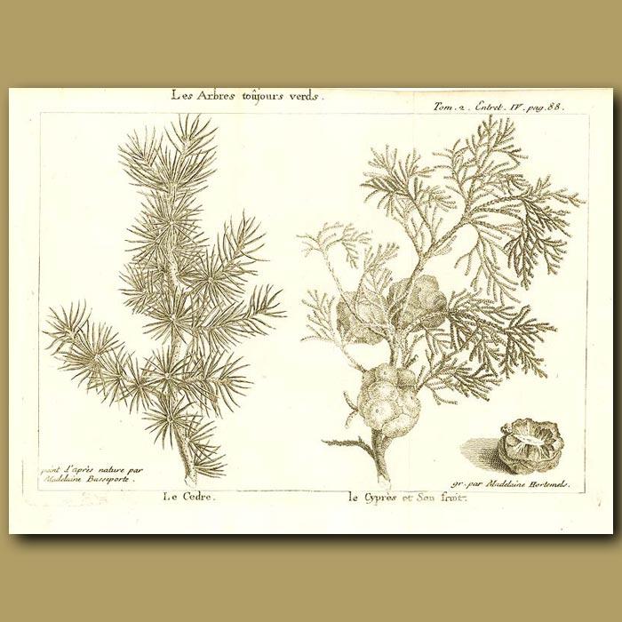 Antique print. Cedar Tree And Cypress Tree