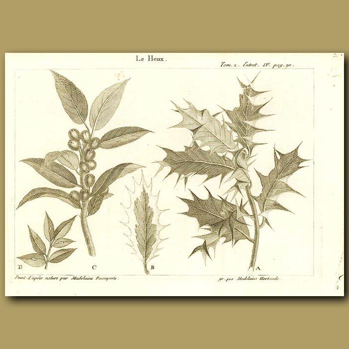 Antique print. Holly Tree