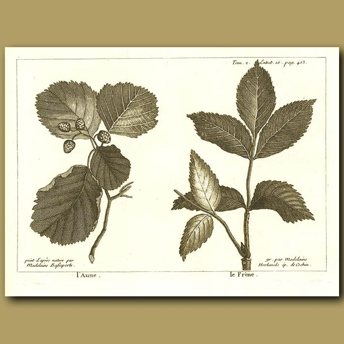 Antique print. Elm And Ash Trees