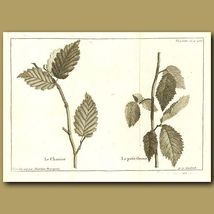 Antique print. Elm Tree