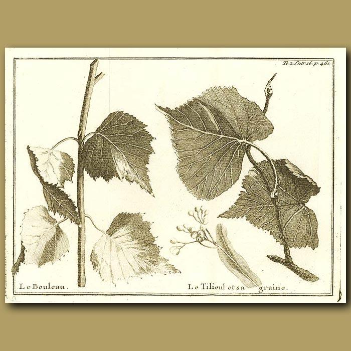 Antique print. Birch Tree