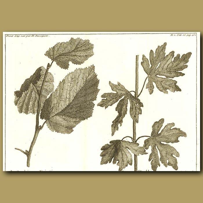Antique print. Hazel And Maple Trees