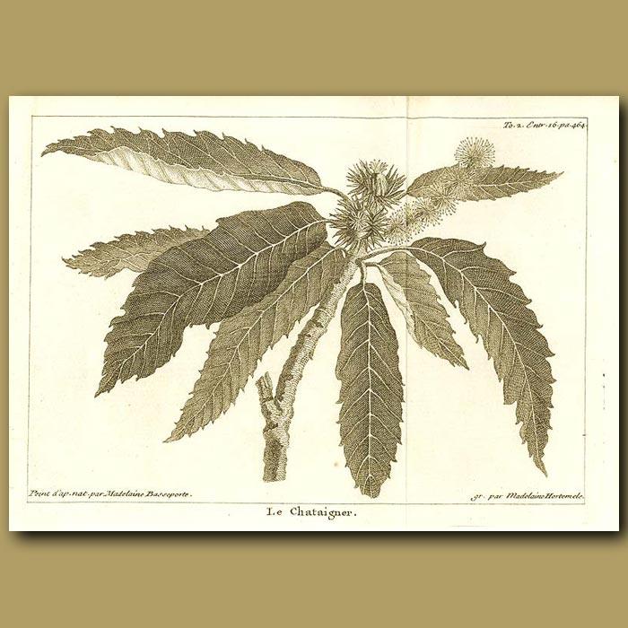 Antique print. Chestnut Tree
