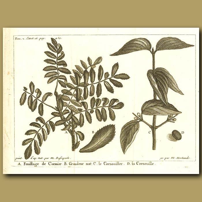 Antique print. Dogwood Tree