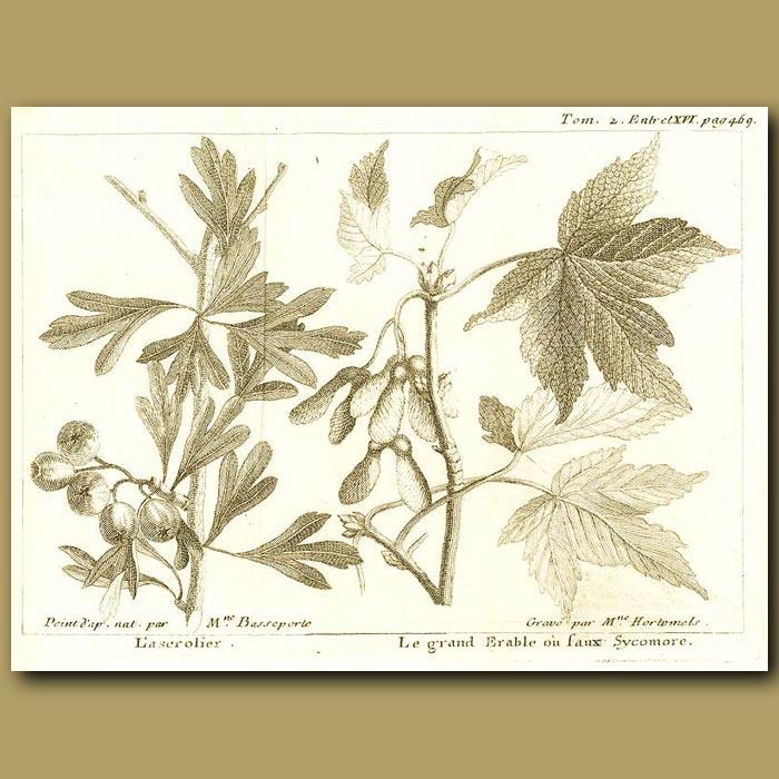 Antique print. Sycamore Tree