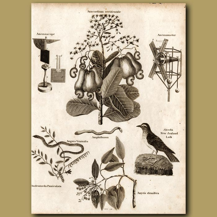 Antique print. Anemoscope, Cashew Nut Tree, Anemometer
