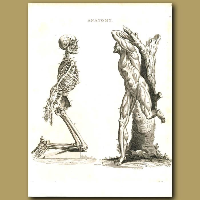 Antique print. Anatomy: Showing the human skeleton and muscles etc.